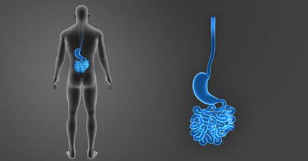 colon surgery: Human Stomach and small intestine zoom with body posterior view