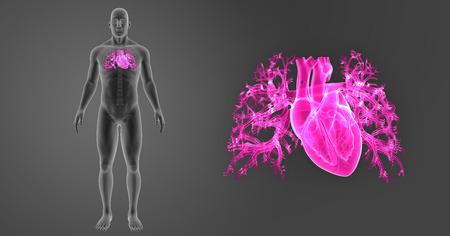 vascular: Human Heart zoom with skeleton anterior view Stock Photo