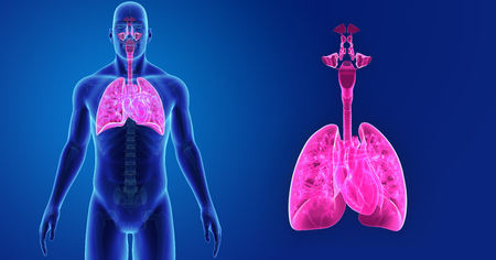 Human Lungs and Heart zoom with skeleton anterior view Stock Photo