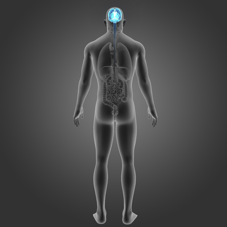 Human Brain with organs posterior view Stock Photo