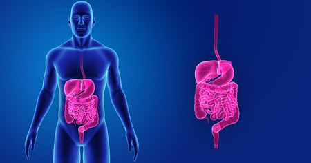 Human Digestive system zoom with body anterior view
