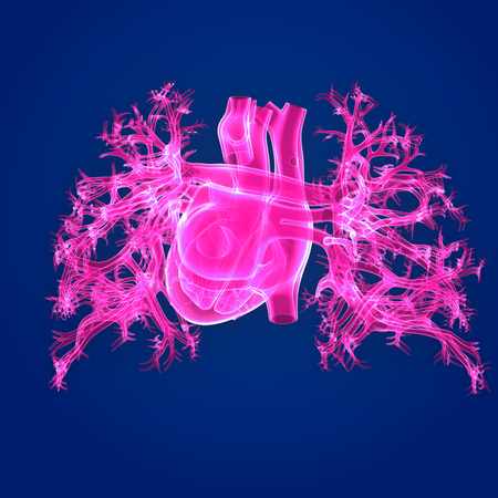 Human Heart posterior view Stock Photo