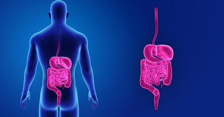 Digestive system zoom with body posterior view Stock Photo