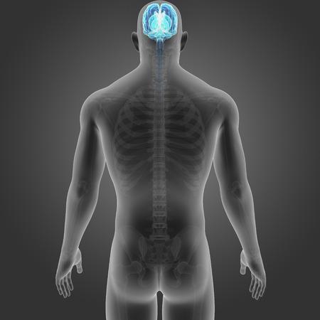 Human Brain with skeleton posterior view Stock Photo