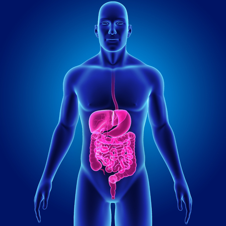 Human Digestive system with body anterior view Stock Photo