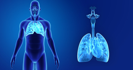 Human Lungs and Heart zoom with body anterior view Stock Photo