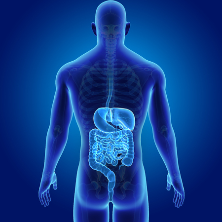 Human Digestive system with skeleton posterior view Stock Photo