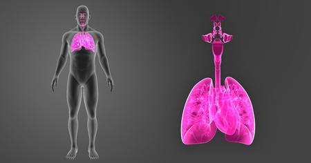 Poumons humains et coeur zoom avec le corps cervical vue Banque d'images - 84781338