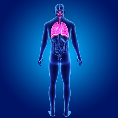 respiratory: Human Lungs and Heart with organs posterior view Stock Photo