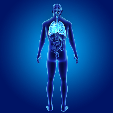 Human Lungs and Heart with organs posterior view Stock Photo