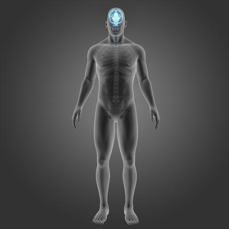 Human Brain with skeleton anterior view