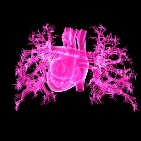 Human Heart posterior view Stock Photo