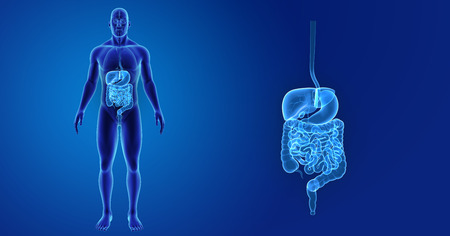 Digestive system zoom with organs anterior view Stock Photo