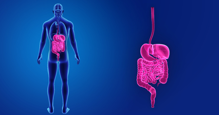 Human Digestive system zoom with organs posterior view