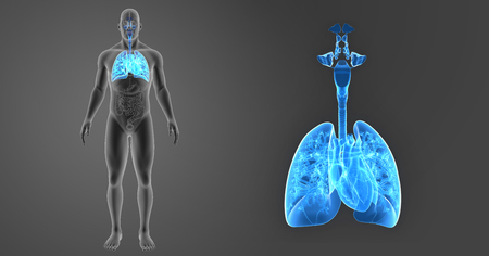 Human Lungs and Heart zoom with organs anterior view Stock Photo