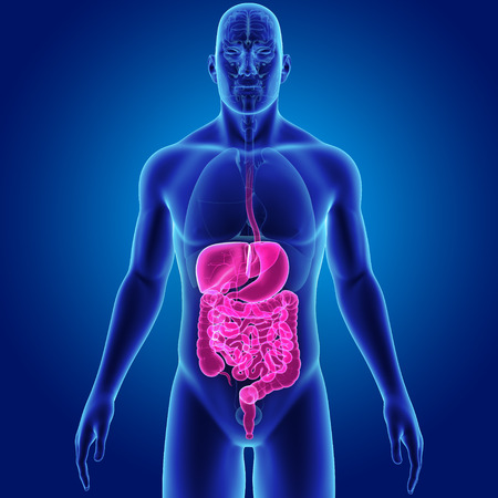 Digestive system with organs anterior view Stock Photo