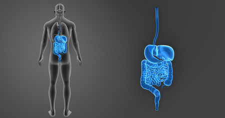 digestive: Digestive system zoom with organs posterior view