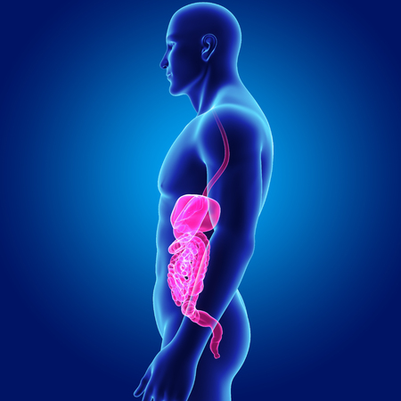 large intestine: Digestive system with body lateral view Stock Photo