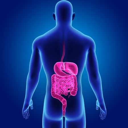 Digestive system with body posterior view