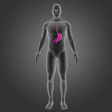 digestive: Stomach with body anterior view