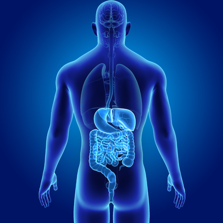 Digestive System With Organs Posterior View Stock Photo Picture And