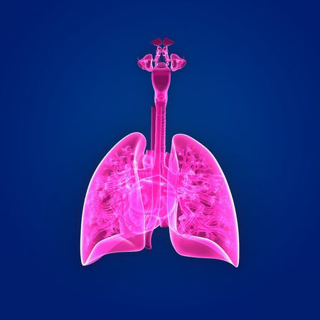 Lungs and Heart posterior view Stock Photo