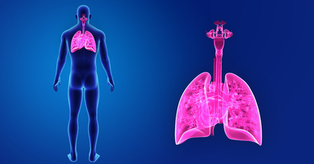 Lungs and Heart zoom with body posterior view Stock Photo