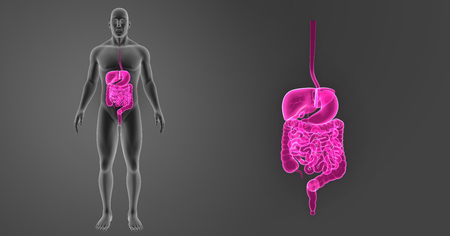 Digestive system zoom with body anterior view