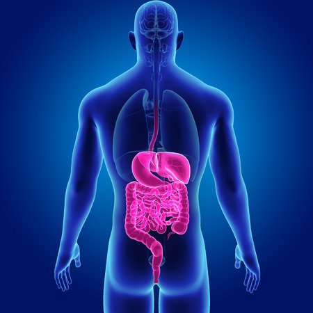 digestive: Digestive system with organs posterior view Stock Photo
