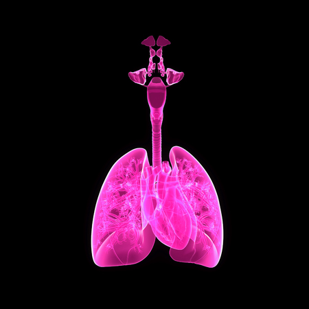 Lungs and Heart anterior view