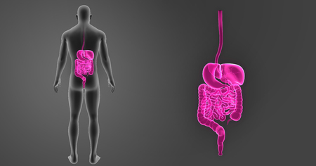 large intestine: Digestive system zoom with body posterior view Stock Photo