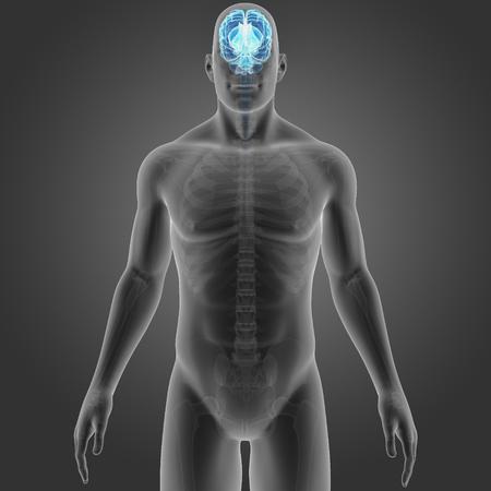 Brain with skeleton Stock Photo