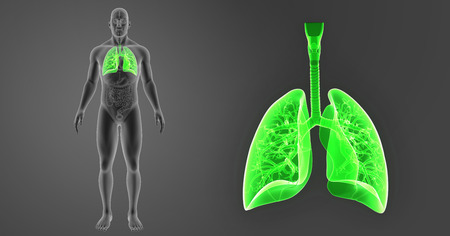 lateral view: Lungs zoom with organs anterior view Stock Photo