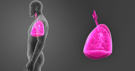 Lungs zoom with skeleton lateral view Stock Photo