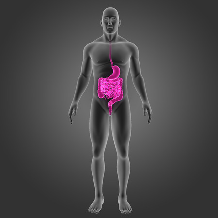 colon: Human Stomach and intestine with body anterior view