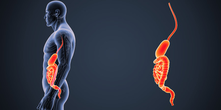 digestive system: Stomach and intestine zoom with skeleton lateral view Stock Photo