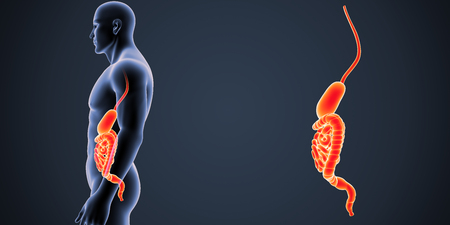 digestive system: Stomach and intestine zoom with body lateral view Stock Photo