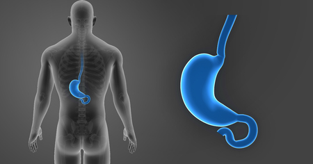 Stomach zoom with skeleton posterior view Stock Photo