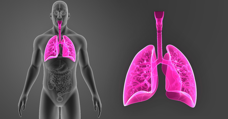 Lungs zoom with organs anterior view Stock Photo