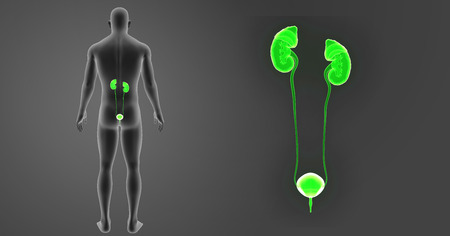 Urinary system zoom with body posterior view Stock Photo