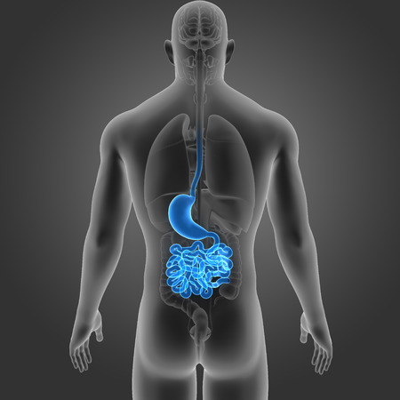 colon: Stomach and small intestine with organs posterior view