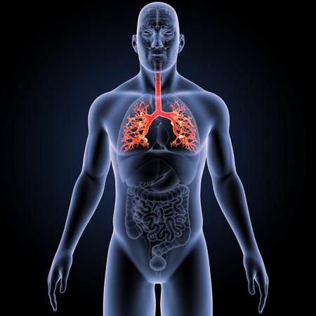 Trachéa avec des organes vue antérieure Banque d'images - 84169571