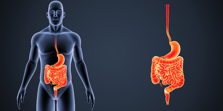 Stomach and intestine zoom with body anterior view Stock Photo