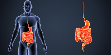 Zoom d'estomac et d'intestin avec vue antérieure du corps