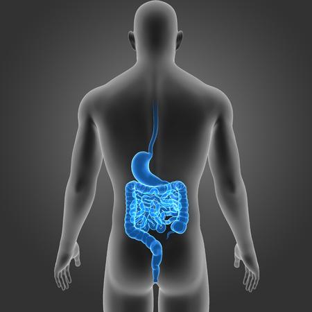 Human Magen Und Darm Zoom Mit Körper Anterior View Lizenzfreie Fotos ...