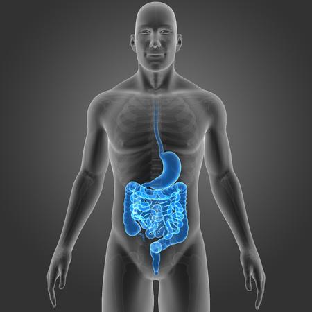 colon: Stomach and intestine with skeleton anterior view