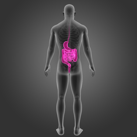 colon: Stomach and intestine with skeleton posterior view
