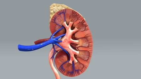 medio frente de riñón