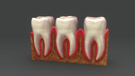 Teeth Anatomy aerial