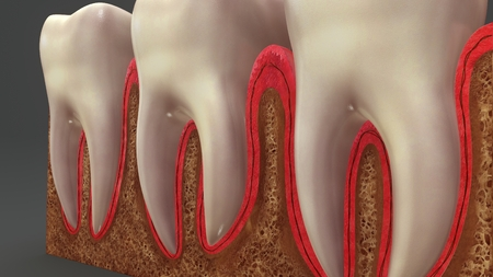 Teeth Anatomy perspective Stock Photo